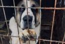 Voués à être dévorés, des chiens trouvent refuge à Montréal