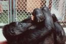 Samaîtrise du langage des signes etson affection pour des chatons ont rendula gorilleKokocélèbre.