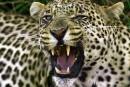 Sri Lanka: deux hommes arrêtés pour avoir tué un léopard