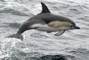 Pêche: des outils pour empêcher la capture accidentelle de dauphins
