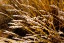 Le Japon recommence l'importation de blé canadien