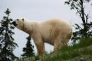 Le Zoo sauvage de Saint-Félicien fait peauneuve