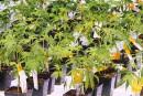 Aurora Cannabis: l'intérêt de Coca-Cola fait avancer l'action