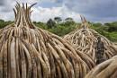 Des tests ADN pour mieux traquer les trafiquants d'ivoire