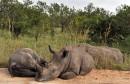 Moins de rhinocéros braconnés en Afrique du Sud