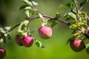 Cueillir ses pommes en paix