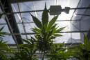 Cannabis: le cannabidiol fait saliver lesentreprises
