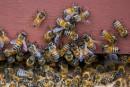 Équiterre presse Ottawa d'interdire les pesticides «tueurs d'abeilles»