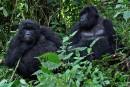 De l'espoir pour les gorilles des montagnes