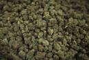 Cannabis: Plante craint que les jeunes se tournent vers le crime organisé