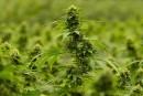 Cannabis: hausse des revenus d'Hexo