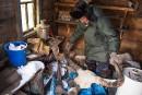 Mammouths en Sibérie: la ruée vers «l'ivoire des glaces»