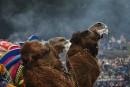 Des combats de chameaux dans un festival en Turquie