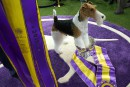 Un fox-terrier à poil dur remporte le Westminster Dog Show