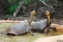 Les îles Galapagos accueillent 155 tortues géantes