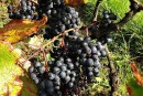 La vigne renaît dans le nord de la France