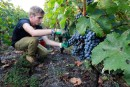 Dix cépages produisent 80 % des vins français