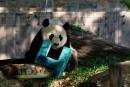 Le panda géant du zoo de Washington fête ses 4ans
