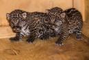 Deux jaguars naissent au Zoo de Granby