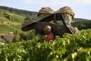 La vigne de Bourgogne, «marqueur du réchauffement climatique»
