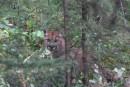Plein air: l'invisible cougar