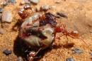 Des chercheurs ont filmé la fourmi la plus rapide du monde