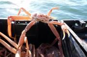 La saison de la pêche au crabe des neiges bat son plein dans...