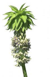 Eucomis bicolor... (Photo Armand Trottier, La Presse) - image 1.0