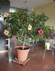 L'hibiscus de Michel Fortier a commencé à produire... (Photo fournie par Michel Fortier) - image 1.0