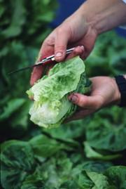 La laitue reste un des légumes favoris des... - image 1.0