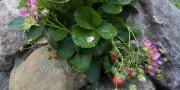 Un de mes infatigables fraisiers «Rosalyne» le 11... (Photo Ivanoh Demers, La Presse) - image 1.0