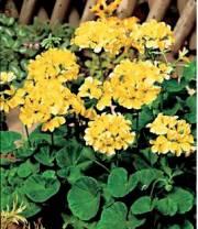Toute une nouveauté, le pélargonium zonale jaune (Cultivar... (Photo tirée du site Web Bakker) - image 1.0