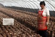 Presque tous les champignons en conserve vendus chez... (PhotoL Wang Junhui, collaboration spéciale.) - image 2.0
