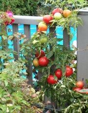Des tomates s'agrippent aux barreaux de ce balcon... (Photo fournie par Biotop Canada) - image 1.1