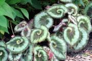 Bégonia rex 'Escargot'(Begonia Rex Cultorum 'Escargot')... - image 2.0
