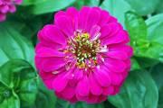 Zinnia 'Uproar Rose'... - image 2.0