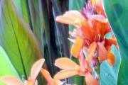 Canna 'Orange Sparkler'... - image 3.0