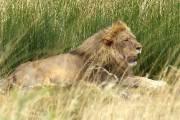 «L'observation du roi des animaux est l'objectif ultime... (Yves Ouellet, collaboration spéciale) - image 2.0