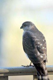 Les proies du faucon pèlerin sont plus modestes... (Jacques Samson, collaboration spéciale) - image 2.0