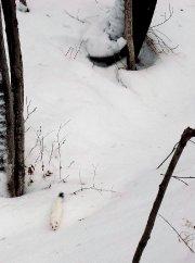 Belette ou hermine, peu importe, c'est un magnifique... (Photo Louis-Philippe Cloutier) - image 2.0