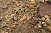 Plan rapproché d'un fragment d'os du chameau de... (Photo courtoisie Martin Lipman) - image 3.0