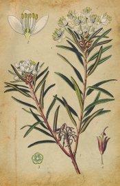 Le thé du Labrador, plante des régions froides d'Amérique,... (Photo Masterfile) - image 2.0