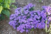 Les fleurs des asters ressemblent à de petites... (Photo www.jardinierparesseux.com) - image 2.0