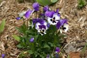 Certaines pensées, comme celles de la lignée Icicle,... (Photo www.jardinierparesseux.com) - image 4.0