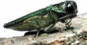 L'agrile du frêne, un insecte asiatique, est apparu... (PHOTO FOURNIE PAR L'AGENCE CANADIENNE D'INSPECTION DES ALIMENTS) - image 2.0