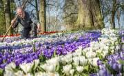 Le parc floral du Keukenhof aux Pays-Bas,... (PHOTO ROBIN VAN LONKHUIJSEN, AFP) - image 2.0