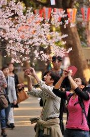 Symbole s'il en est du printemps japonais, la... (Photo Yoshikazu TSUNO, AFP) - image 2.0