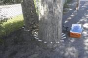 Des seringues servent à injecter le biopesticide TreeAzin,... (Photo fournie par Service d'élagage Boisvert) - image 1.0