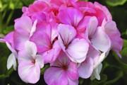 La fièvre horticole grimpe avec le... (Photo fournie par All-America Selections) - image 5.0