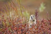 Le spermophile arctique n'a pas l'air bien dangereux,... (Photo Digital/Thinkstock) - image 2.0